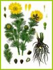 Семена чистотела